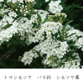 トサシモツケ