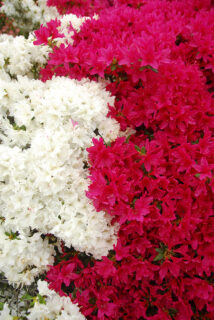 花と緑映える春。グリーンマルシェとつつじ祭りのご案内